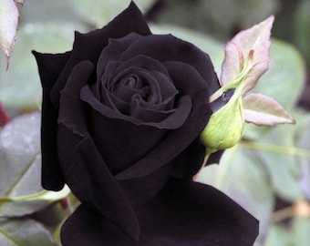 Heirloom 100 Seeds Deep Purple Maroon Rose Garden Roses RARE Double Perennial Flower B3018