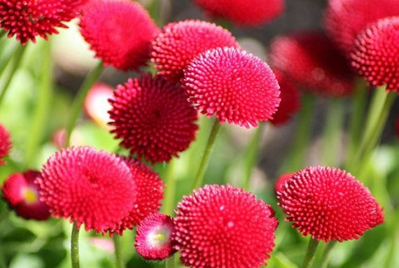 Heirloom 2000 Seeds English Daisy Monstrosa Corsican Bellis Red Garden Flower Bulk Seeds S022