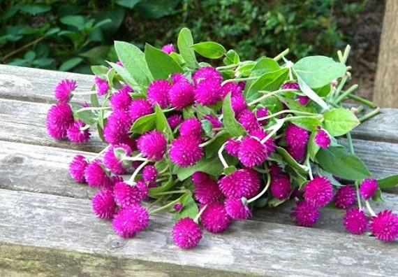 Heirloom 300 Seeds Gomphrena Buddy Gnome Series Globe Amaranth Purple Flower Bulk Seeds B0069