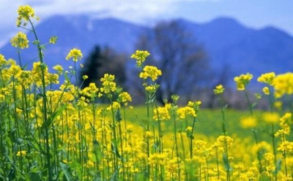 900 Organic Heirloom Seeds Rape Oilseed Brassicacapestris Dwarf Essex Rapeseed Oil Vegetable Garden B0012