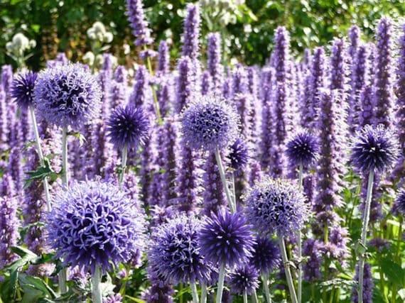 Heirloom 35 Seeds Echinops Globe Thistle Ritro Violet purple Blue Garden Flower Summer S054