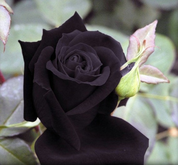 Black Rose Ͽ� Gostica: Heirloom 100 Seeds Deep Purple Maroon Rose Garden Roses RARE