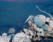 Little Blue Heron, Sanibel Island, FL 8x10 fine art print