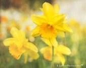 Flower Photography - Nature Photograph - Daffodil Photograph - Fine Art Photography Print - Yellow Green Home Decor