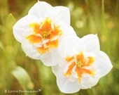 Flower Photography - Nature Photograph - Daffodil Photograph - Flowers - Fine Art Photography Print - White Orange Green Home Decor
