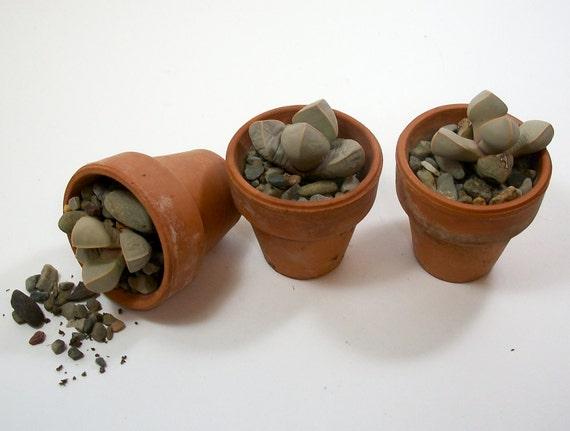 3 Lapidaria Plants in Terra Cotta Pots