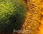 The Sun - Up Close Yellow Sunflower Fine Art Flower Photography Print (12X18) by John Hamil Photography