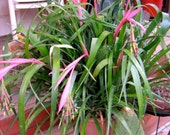 "Billbergia Nutans Bromeliad - Queens Tears Plant-  ""Lovers Tears"" blooms for Valentines Day"