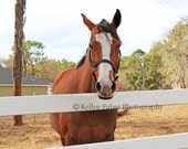 Brown Horse Photo by Kellee Fabre Photography size 8x10