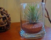 Air Plant in Glass Holder with Terra Cotta Sand