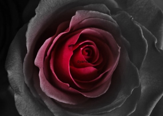Black and Red Rose Print Photograph or  Notecard