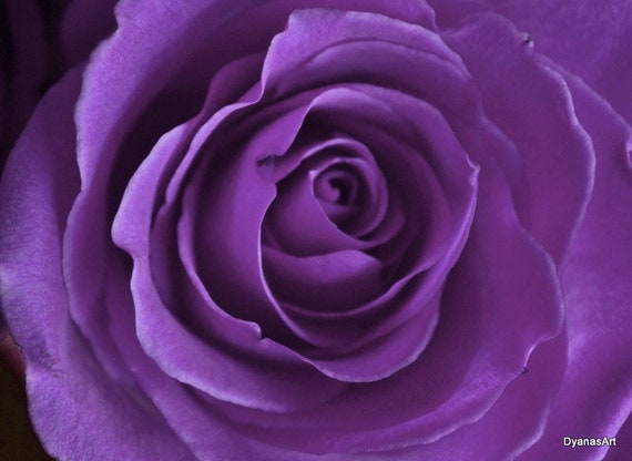 Lavender Rose Photo 11x14 or notecards Flower Photography