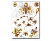 Macro Space - Siphonophorae, vintage illustration printed on Parchment paper. Buy 3 and get 1 FREE
