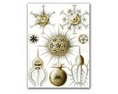 Macro Space - Phaeodaria, vintage illustration printed on Parchment paper. Buy 3 and get 1 FREE