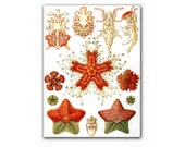 Sea Creatures - Asteridea, vintage illustration printed on Parchment paper. Buy 3 and get 1 FREE, Natural History