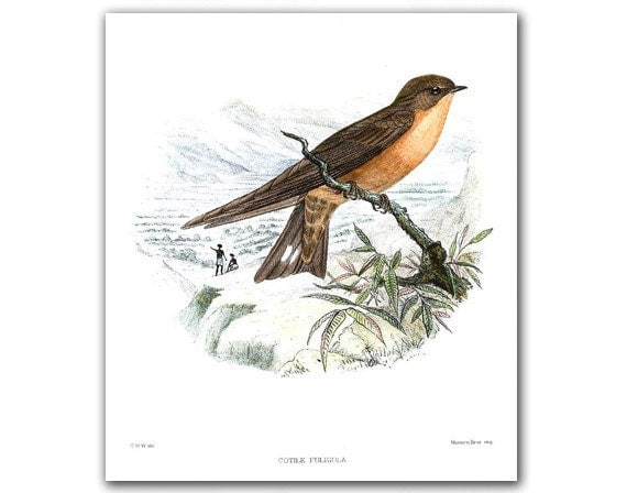 Swallow - Cotile Foligula, vintage illustration printed on Parchment paper. Buy 3 and get 1 FREE