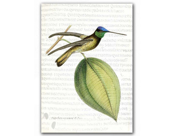 Sapphire Crowned Humming Bird, vintage illustration printed on parchment paper