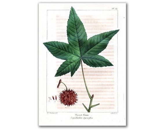 Sweet Gum, vintage illustration printed on parchment paper