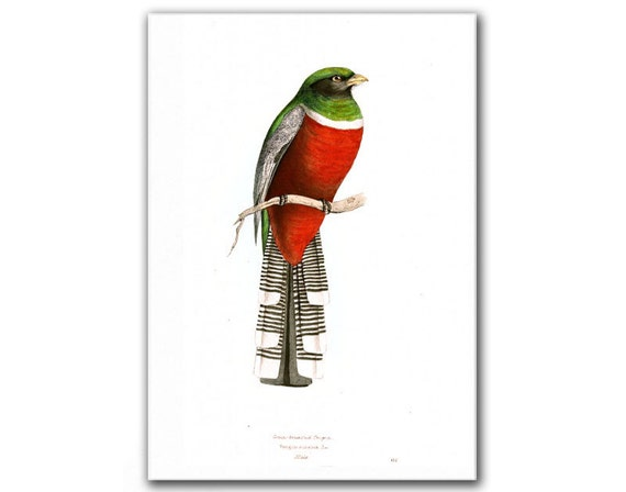 Green Breasted Trogon, Vintage Illustration Printed on Epson Matte Photo Paper. Buy 3 and Get 1 FREE
