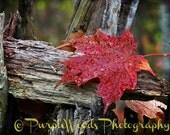 Minnesota Autumn Lutsen Oberg Mountain Red Leaf  Lake Superior Fall Colorful Digital Photo Photograph Photography Print 11x14 8x10 5x7