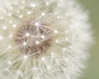 Dandelion Photo, Flower Photography, Pastel, Abstract - 8x8 fine art photograph