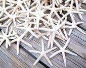6 White Pencil (Finger) starfish (3-4 in) - medium