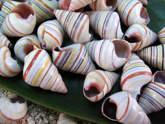 12 Natural Shells Haitian Tree Snail (1 - 1.5 in)