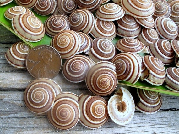 12 Tiny Sundial Seashells (0.5-0.75 in)