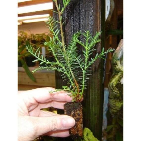 3 Fast Growing Baby California Redwood Tree Plugs