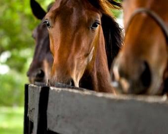 Kentucky Thoroughbred Horse Photo Blank Card
