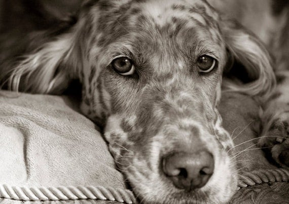 Sweet Elly May, English Setter Blank Card