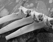 Real Bone Deer Bones White Tail  Vertebra Three