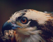 young-osprey 8x10 wildlife photography 8 x 10