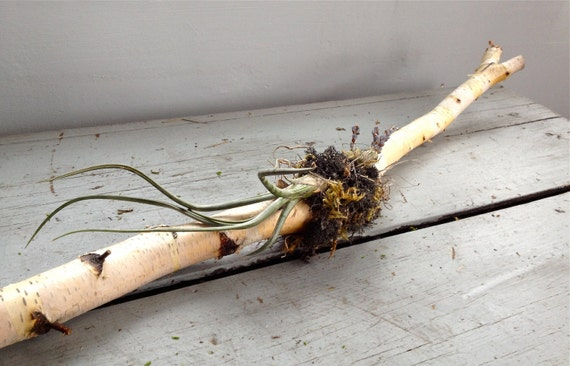 Birch Branch with moss, air plant, dried flowers. Tablescape, centerpiece, wall decor, rustic, foraged, organic, reclaimed