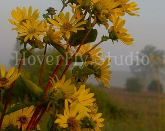 Rosinweed in the Fog -- 8x10 Nature Photograph