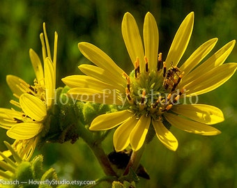 8x10 Nature Photograph -- Rosinweed with Pollinator / Bee