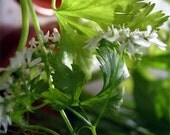 10 Origami Stars - 20 Seeds - Seed Bomb - Cilantro Organic Heirloom Open Pollinated