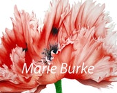 Oriental Poppy - Large fine art botanical print, 11 x 16 or 13 x 19inches, watercolor print