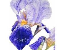 Purple Iris - fine art botanical print, 16 x 11 or 13 x 19inch, botanical watercolor, botanical art