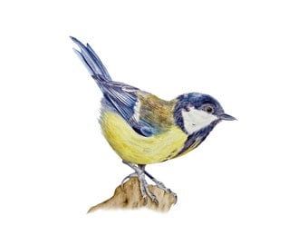 Great tit - fine art print, watercolour, bird print, bird painting, bird watercolours