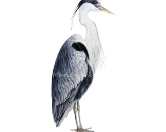 Grey Heron -  fine art print, bird painting, bird watercolour, heron, heron painting