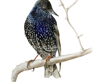 Starling II - fine art print, watercolor bird print
