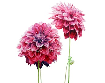 Dahlias -  botanical watercolour print