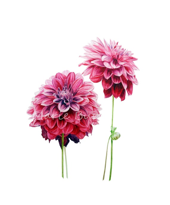 Dahlias -  botanical watercolour print