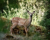Deer fawn nature forest 8 x 10 photography