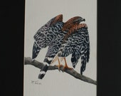 """A Red Shouldered Hawk, """"Ready to Take Off"""", 12 X 16 black matted, watercolor"""