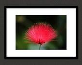 Calliandra Flower 5X7 Fine Art Photography Print - Macro Photograph Photo Image Flowers Coral Color Colorful Bright Nature Wall Art Decor