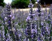 Dried Lavender: 6 oz. bulk buds