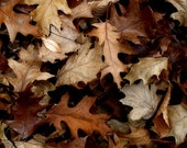 "Oak Leaves Fine Art Photography Print  ""Autumn Brown"" 11"" x 14"" Autumn Leaves, Brown, Brown Fallen Leaves"