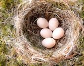 "Bird's Nest and Eggs, Eastern Phoebe Bird Nest Print 9"" X 12"" Fine Art Nature Photography"